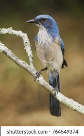 Western Scrub-Jay, Aphelocoma californica, adult perched, Uvalde County, Hill Country, Texas, USA, April