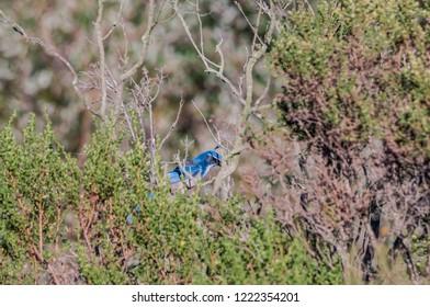 Western Scrub-jay (Aphelocoma californica) in bush, California, USA