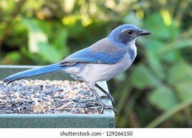 Western Scrub-Jay (Aphelocoma californica) perched on a feeder