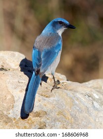 Western Scrub-Jay (Aphelocoma californica) perched on a rock in the Texas Hill Country