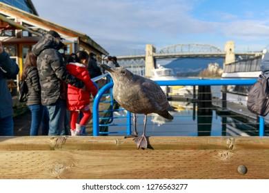 Western Seagulls at Granville Island Vancouver British Columbia Canada