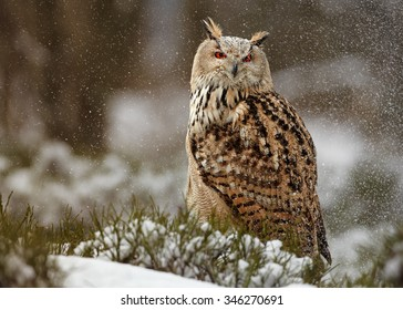 Western siberian eagle owl Bubo bubo sibiricus sitting on a rock in winter arctic forest covered by snow