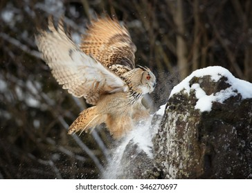 Western siberian eagle owl Bubo bubo sibiricus landing on a rock in winter arctic forest covered by snow, taiga forest in background. Outstretched wings, dynamic movement.