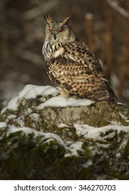 Western siberian eagle owl Bubo bubo sibiricus sitting on a rock in winter arctic forest covered by snow lit by setting sun.