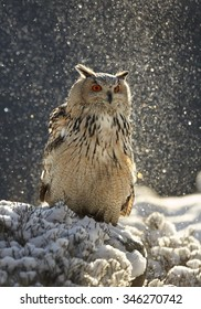 Western siberian eagle owl Bubo bubo sibiricus sitting on a rock in winter arctic forest covered by snow, sun-brightened slight snowfall, blue background.