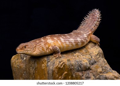 The western spiny-tailed skink  (Egernia stokesii badia) has declined in numbers and range as a result of overgrazing, habitat clearance and crop production.