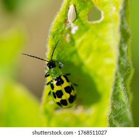 Western Spotted Cucumber Beetle (Diabrotica undecimpunctata), adult stage, in closeup on a potato leaf. In larval stage these are called southern corn rootworm