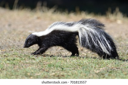 Western Striped Skunk