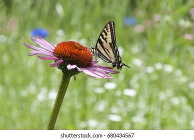 A Western Swallowtail butterfly on a purple cone flower.