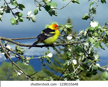 Western Tanagers, Piranga ludoviciana, are seen throughout the west in forests.  The males are unmistakable, they look like male American goldfinches on steroids and having a red head.
