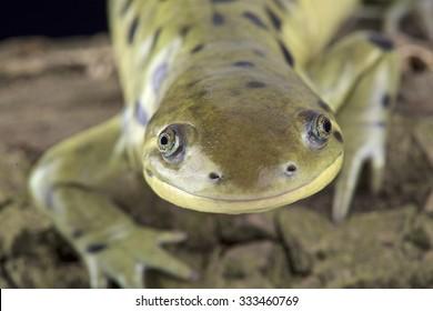 Western tiger salamander (Ambystoma mavortium)