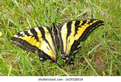 Western Tiger Swallowtail Butterfly on Grass