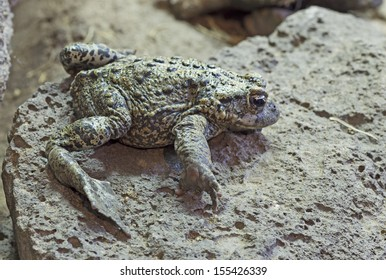 A western toad blending with a rock
