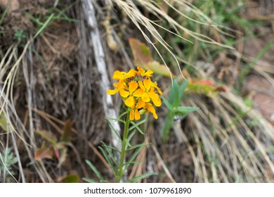 Western Wallflower in Colorado Rocky mountain