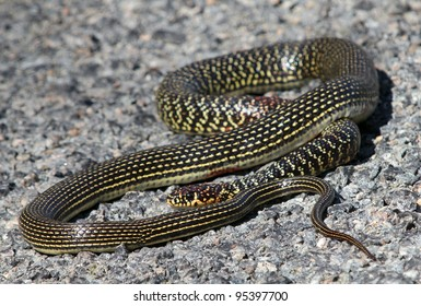 Western Whip Snake basking on a road