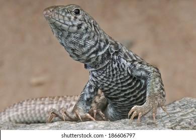 Western whiptail lizard / Aspidoscelis tigris tigris