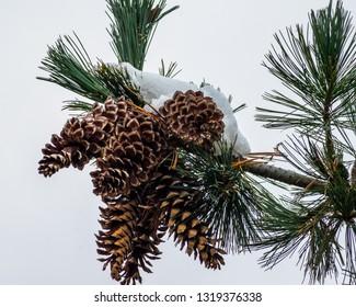 Western white pine cones in white snow