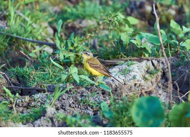 Western yellow wagtail (Motacilla flava) sits on the ground in a natural habitat.