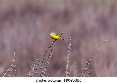 Western yellow wagtail (Motacilla flava) sits on a dry stalk of grass in a field in its natural habitat.