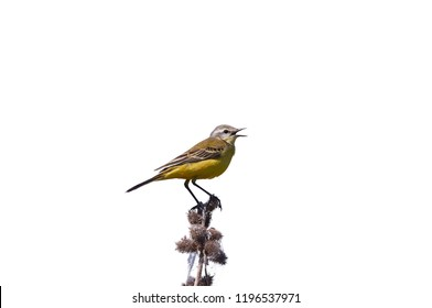 Western yellow wagtail (Motacilla flava) sits on a branch with prickles (isolated on white background).