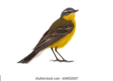 Western yellow wagtail (Motacilla flava)isolated on a white background  in studio shot