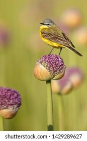 Western Yellow Wagtail (Motacilla flava)on Alliums or onion flowers