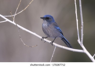 Western-scrub jay, Aphelocoma californica, single bird on branch
