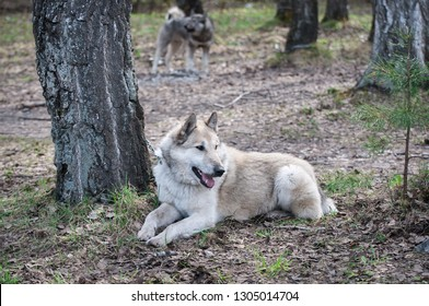 Western-Siberian Laika lies on last year's foliage in the forest