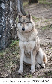 Western-Siberian Laika sits on last year's foliage in the forest