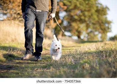 Westie Dog Walking