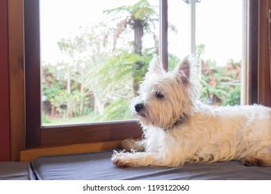 Westie dog: west highland white terrier on window seat guarding garden back yard outside.