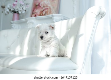 Westie Highland White Terrier puppy on the couch