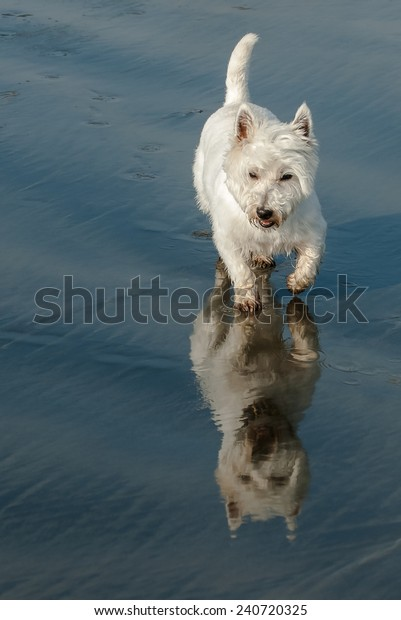 Westie on the beach with reflection in the sand