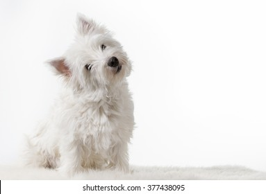 A westie portrait. A west highland terrier is tilting it's head and posing for the camera. Image taken in a studio. The dog is composed to the left. Lots of room for text embedding.