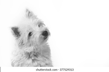 A westie puppy is tilting it's head. Image of a west highland terrier taken in a studio. The dog is composed left. A lot of room for text embedding.