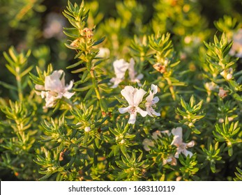 """Westringia fruticosa or Coastal Rosemary is evergreen, flowering plant in the Lamiaceae family. Coastal westringia """"Smokie"""" is a compact shrub with silvery-grey foliage and small white hairy flowers."""