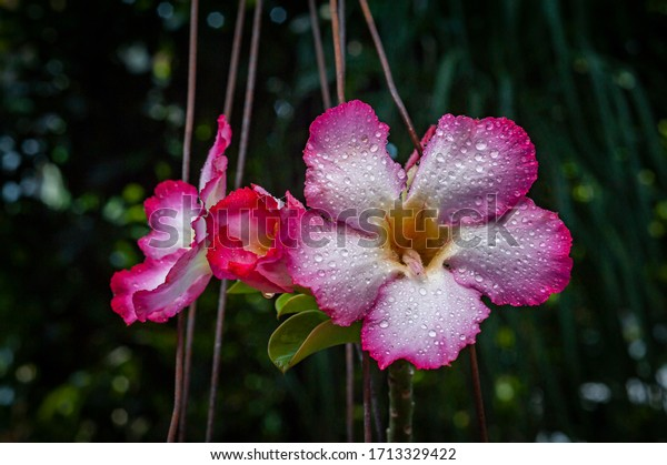 Wet Adenium obesum flower red white gradient color close up view with dark background