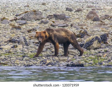 Wet adult brown bear walking on a shore line