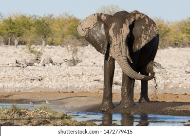 Wet African elephant playing and splashing mud with his trunk on his side at a waterhole in Etosha National Park, Namibia