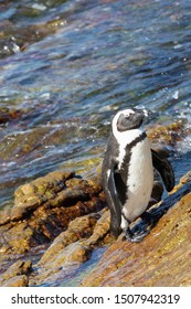 Wet African Penguin, Spheniscus demersus, also known as jackass penguin, a Vulnerable Bird Species, at Stony Point Nature Reserve, Bettys Bay, Overberg, South Africa