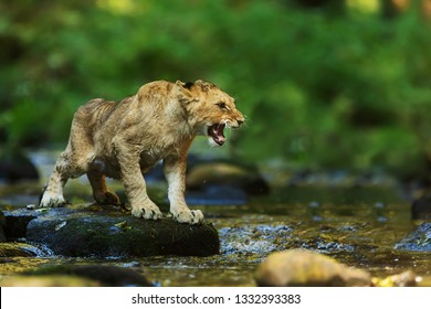 wet and angry lioness (Panthera leo) stands on a stone in the creek