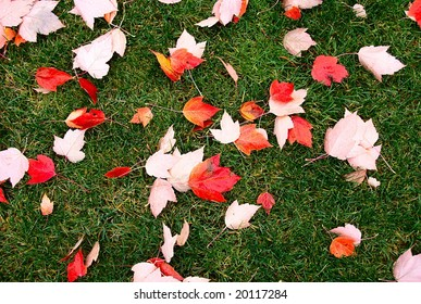 Wet autumn leaves scattered randomly on green grassy lawn