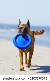 Wet Belgian Shepherd Malinois dog with a blue flying disc walking outdoors on a sand at the seaside