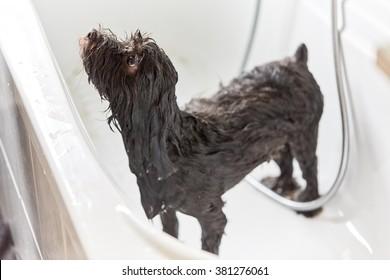 Wet black havanese dog in bathing tub