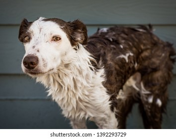 Wet Border Collie dog looks at the camera with an annoyed and unhappy expression during a bath
