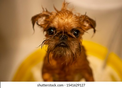 Wet Brussels griffon puppy. Bathing dog background. Funny griffon puppy. Washing a dog. Portrait of a cute dog taking a bath with his paws up on the rim of the tub. Bruxellois or Brussels Griffon.