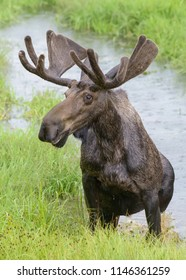 Wet Bull Moose. Wild Shiras Moose in the Rocky Mountains of Colorado