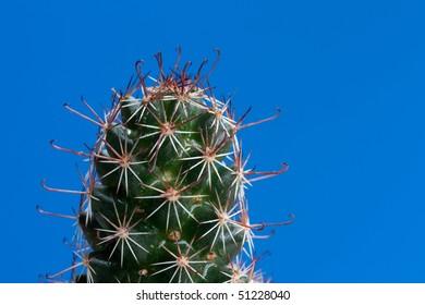 Wet cactus on blue background