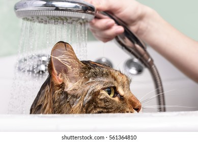 Wet cat. Girl washes cat in the bath
