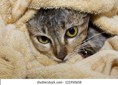 Wet cat in towel